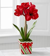 The FTD® Joyful Promises Holiday Amaryllis by Better Homes and Gardens®