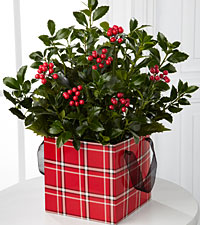 The FTD® Berried Bliss Holly Plant by Better Homes and Gardens®