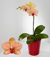 Smithsonian Rare Treasure Phalaenopsis Orchid
