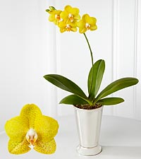 Smithsonian Joyful Moments Phalaenopsis Orchid