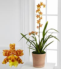 Smithsonian Sunlight's Perfection Oncidium Orchid