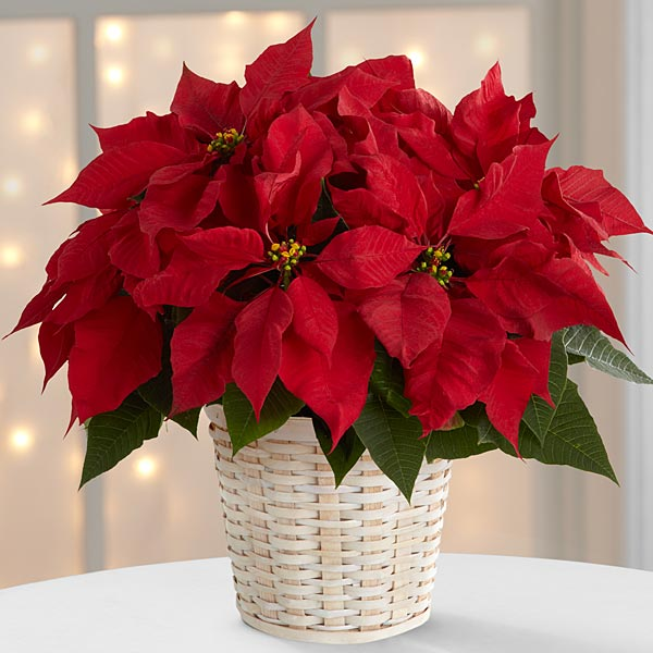 The Red Poinsettia Basket by FTD (small)