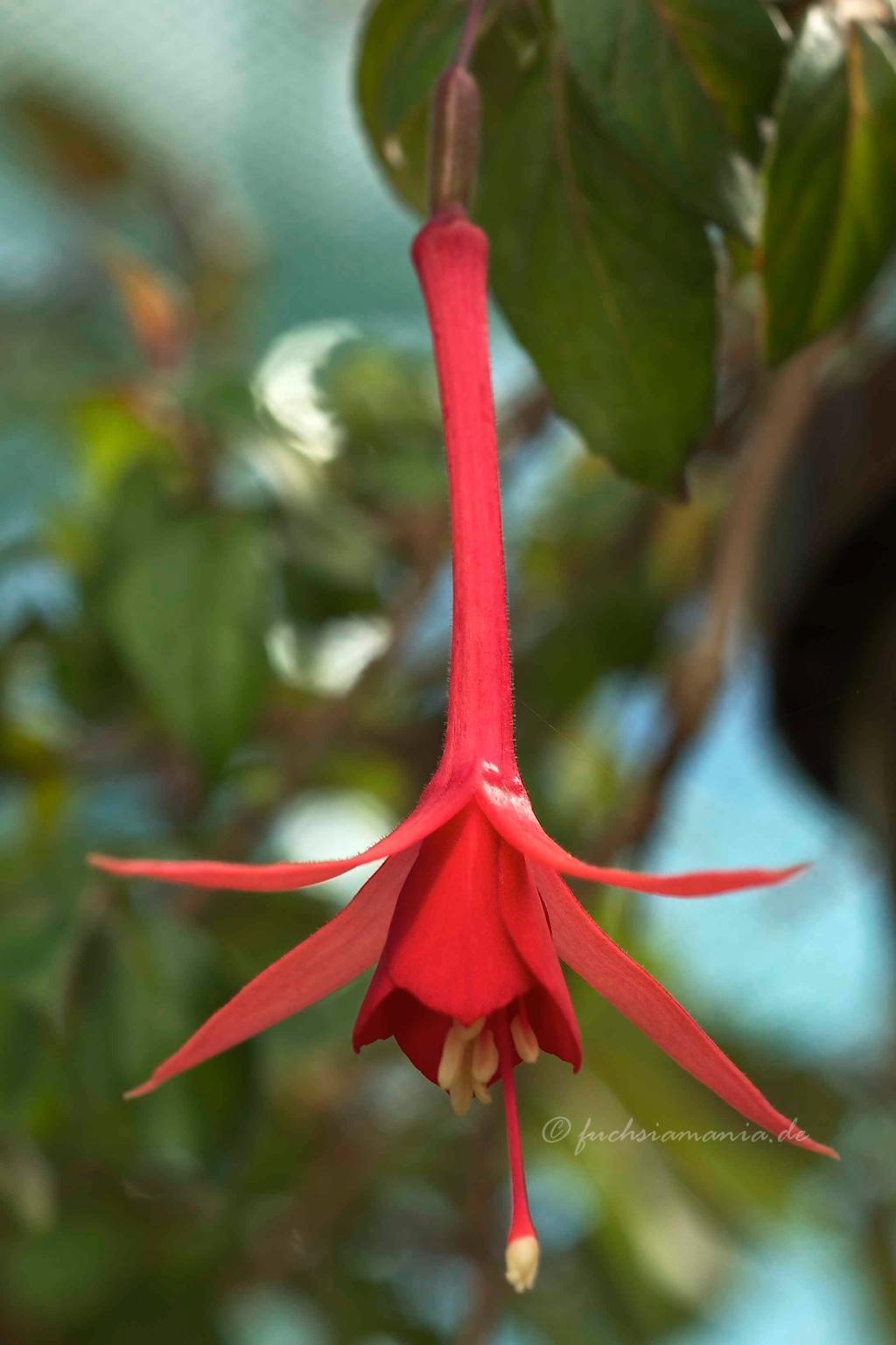 Fuchsia Mantilla