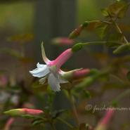 Blossoming Fuchsias in Springtime