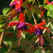 More Fuchsias are blossoming in May (Part 2),