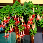 The Fuchsia Season is slowly coming to its end,