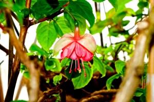 Fuchsia 'Ruppel Belleke'