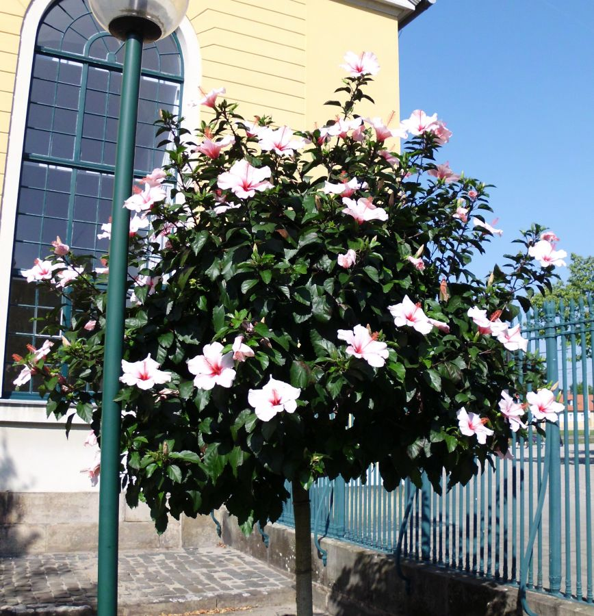 Hibiscus Blten 2014  Seite 14  Garten und Fuchsienfreunde