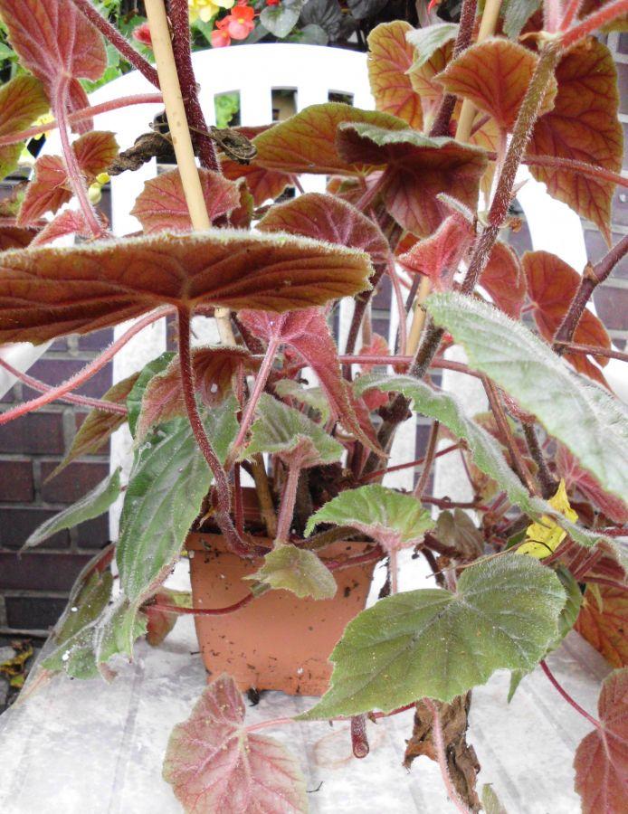 Begonia Arten  Begonia x credneri  Garten und Fuchsienfreunde