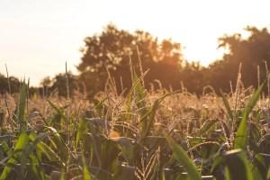 Corn growing in China