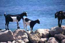 Ziegen auf Fuerteventura