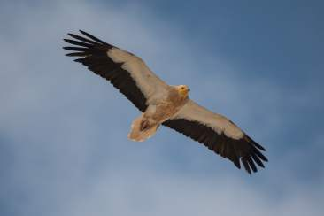 2 Egyptian Vulture Laura Woods