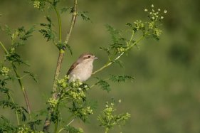 26 Red Backed Shrike Laura Woods 2nd Place