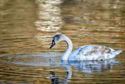 5 Golden Cygnet Duncan Gray