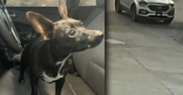 Chihuahua caused a car crash