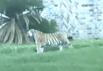 A Tiger Spotted on the Loose in a Houston Residential Neighborhood