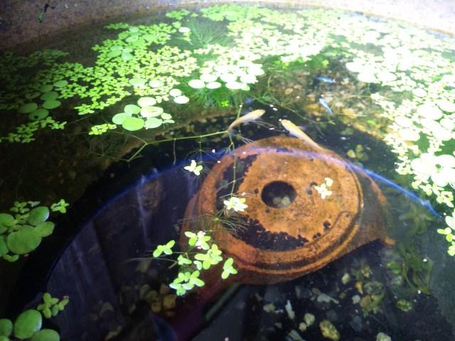 火鉢の水槽で餌をつつくメダカ