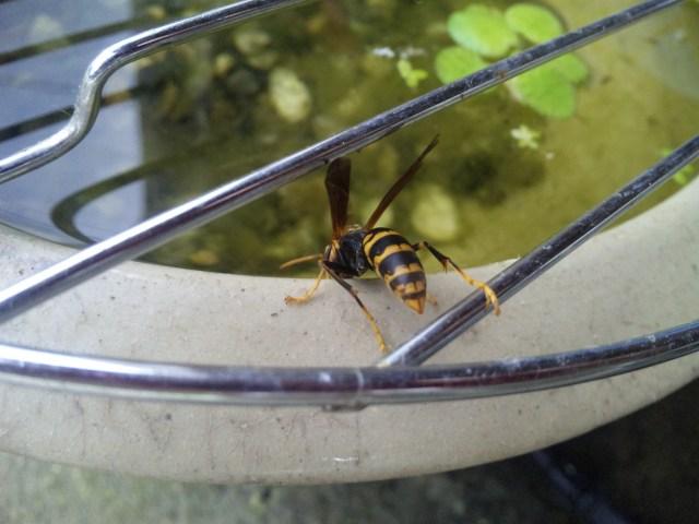 水槽の水を飲む蜂