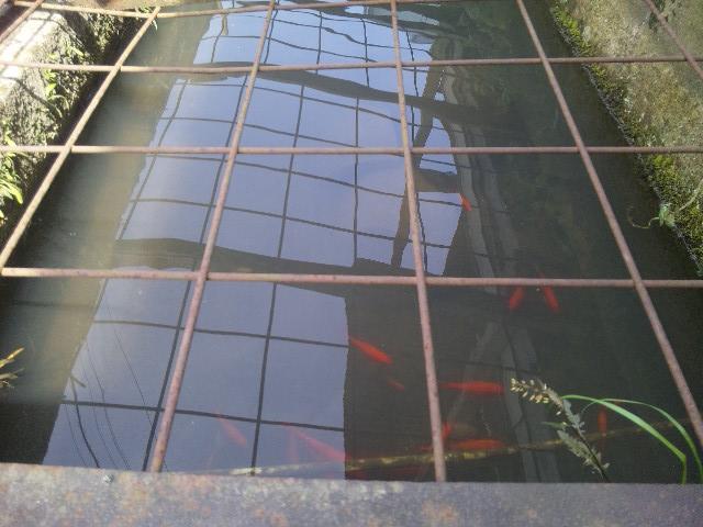 水路から水の入る池と鯉