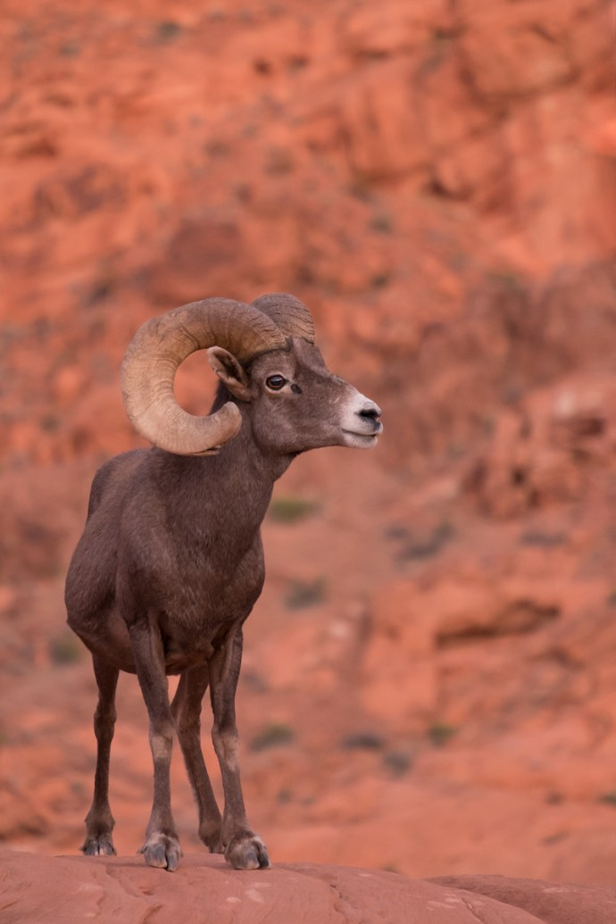 A Big Horn Sheep at Valley of Fire State Park in Nevada.
