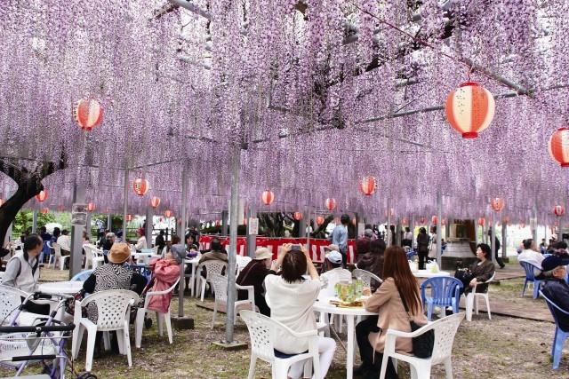 06 - Nakayama Wisteria Festival