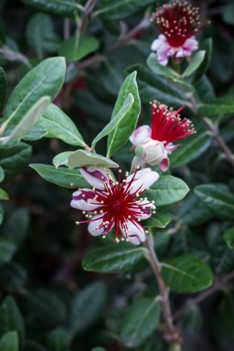 pineapple-guava-blossom