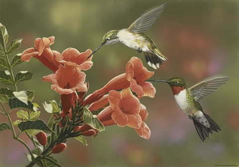 Hummingbirds and Trumpet Flowers Fine Art Print by William