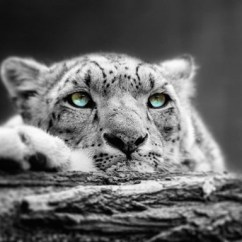 Best Kitchen Mats Island With Cabinets Pop Of Color Snow Leopard Eyes Fine Art Print By Me ...