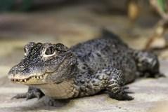Chinaalligator