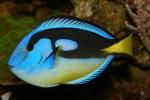 Palettendoktorfisch (Dori)