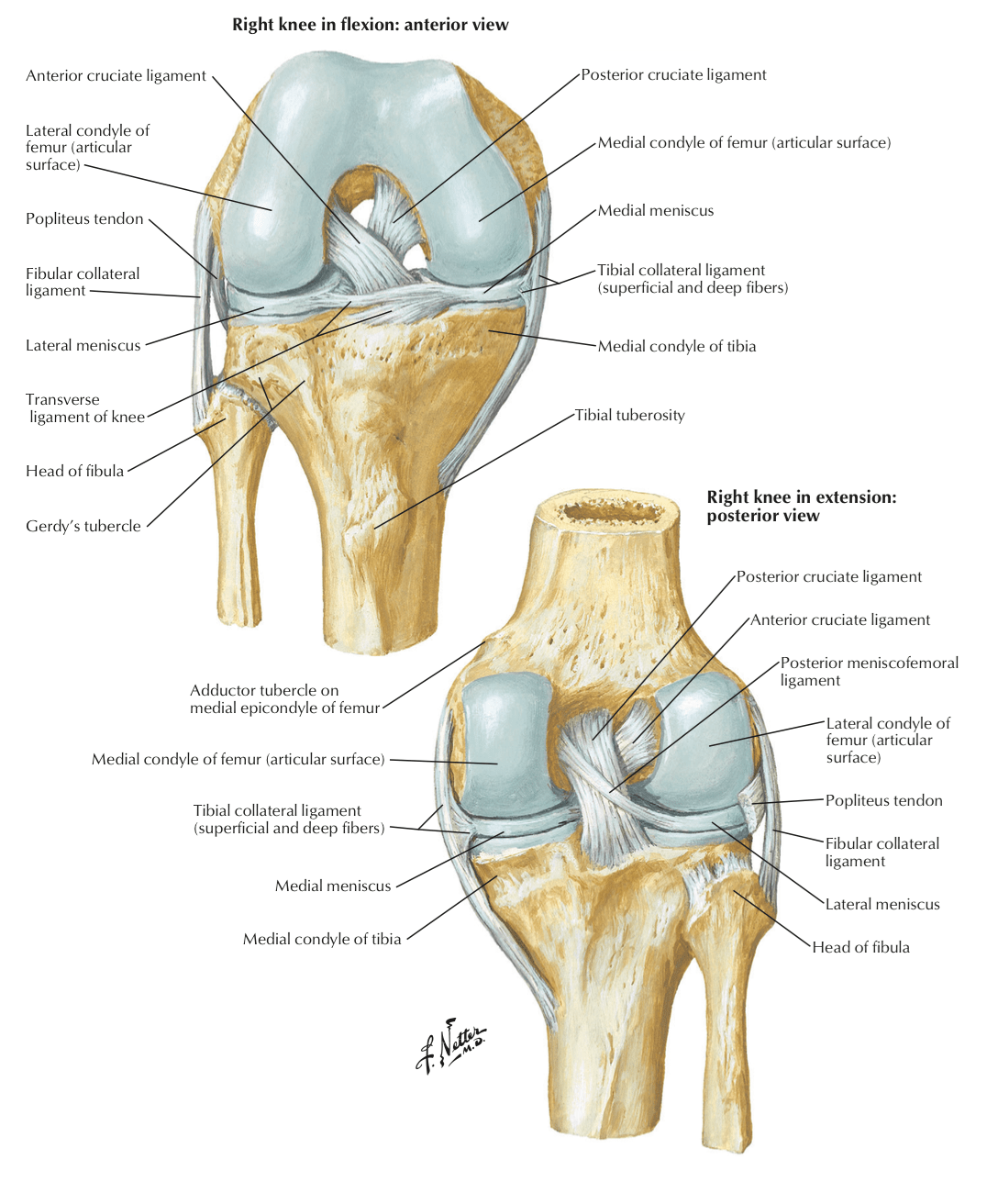 diagram of the knee and ligaments farmall super a wiring full function rehab injury acl meniscus tear blog