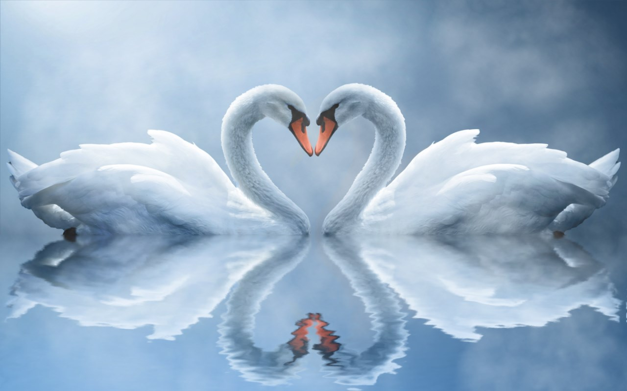 Animated Waterfalls Wallpapers Free Download Swan Love Animated Wallpaper Swan Animated Wallpaper