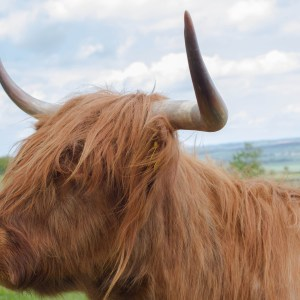 Highland Coo, Scotland Travel Blog