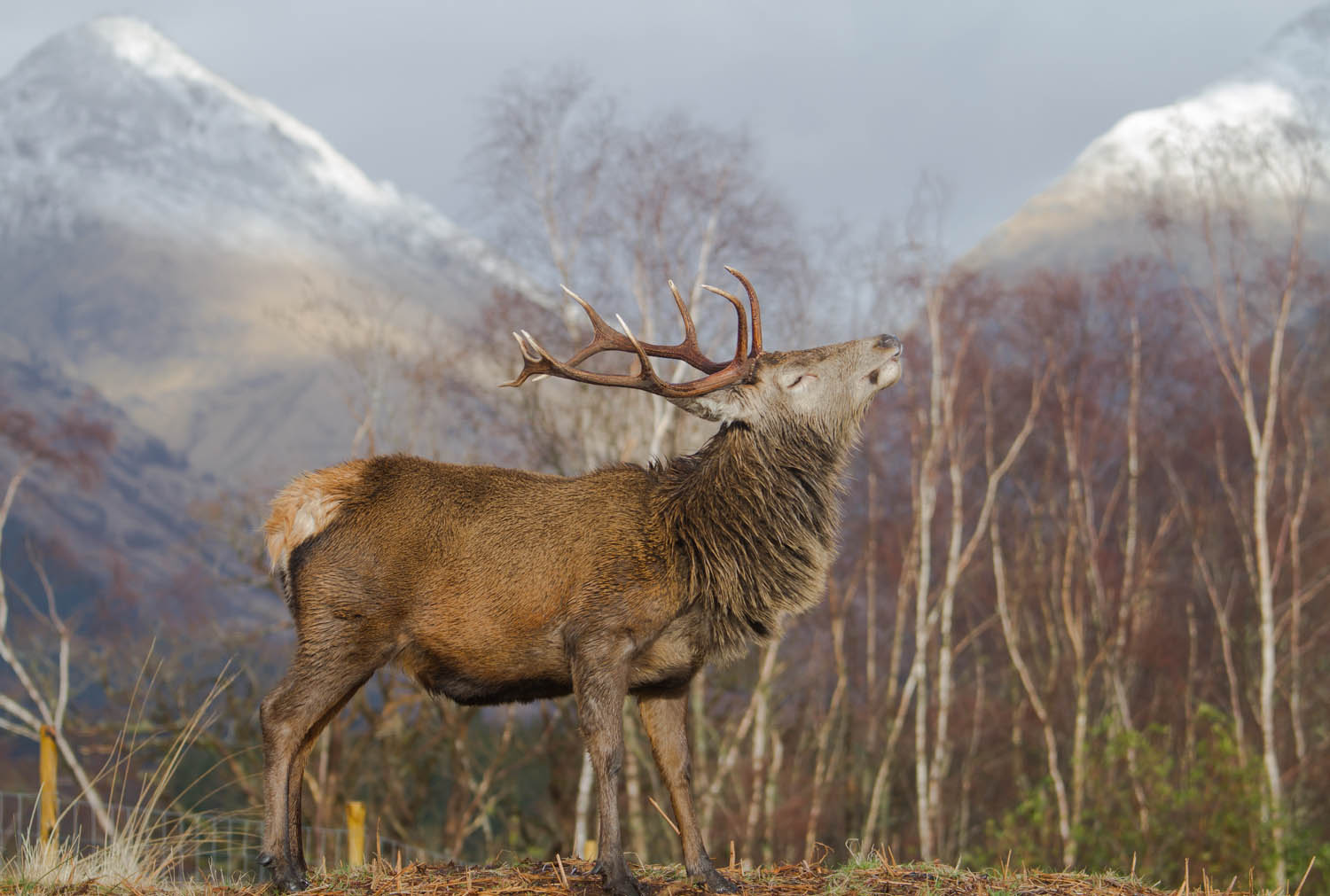 Glen Etive, Red Deer, Scotland Travel Guide