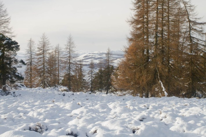 Birnham Hill, Perthshire. Deep snow on the ground. The tall pine trees are bare.