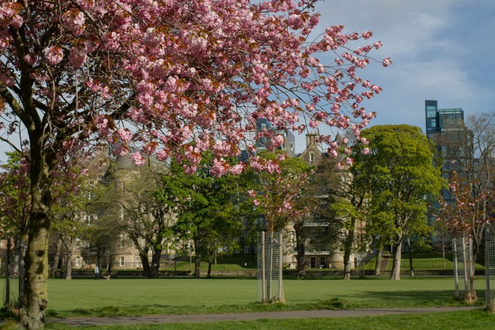 Photo of Edinburgh Meadows. A cherry blossom tree in the foreground and green space and buildings in the background