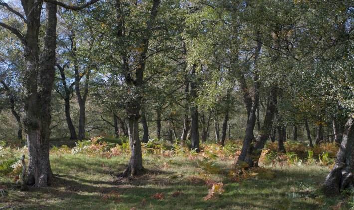 Silver birch trees in Glen Esk