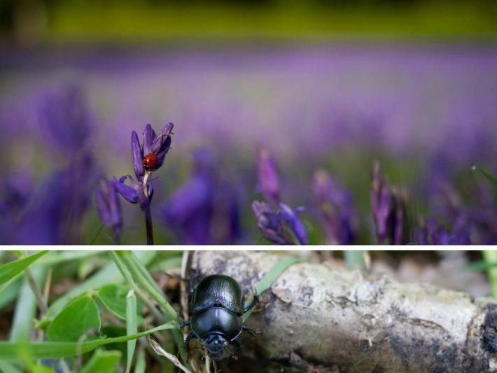 Ladybird on a bluebell. And a beetle on a stick