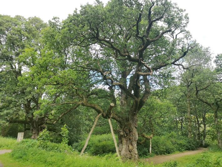 Birnam Oak, Perthshire