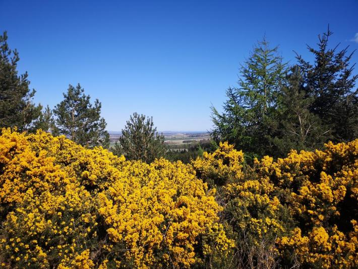 Gorse bushes with a view over Scotland. Little walks from home during lockdown