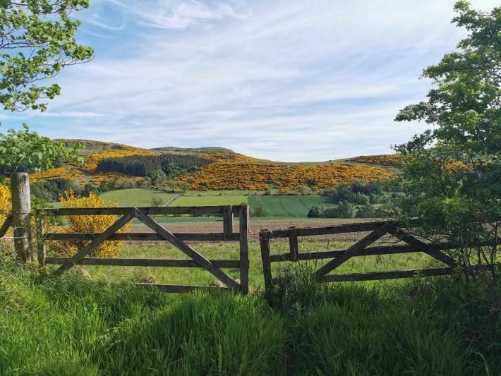 Wooden gates with yellow gorse in the background