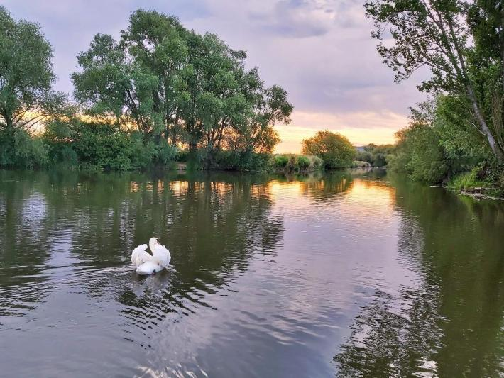 Photo of a swan on a river. The sun is setting and there are trees over hanging the water