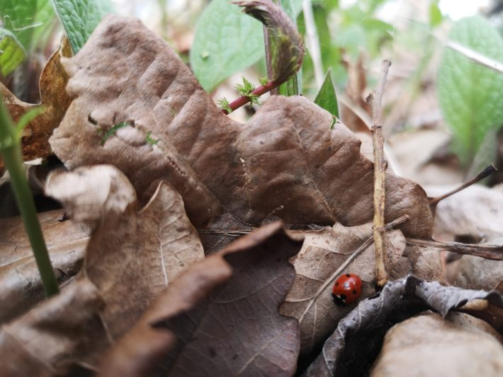 Photo of a ladybird in the leaflitter