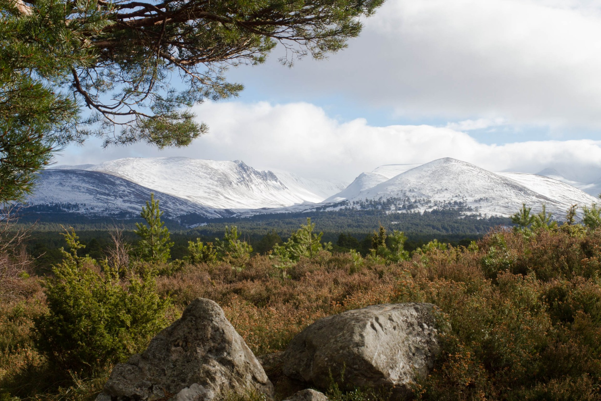Photo of snow capped mountains in the background. A Scots pine tree over hanging the top left of the photo with heather and young trees