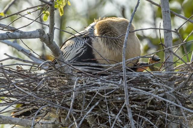 Anhinga-new-born-(Anhinga-anhinga)-Shark-Valley-Evergldes-National-Park-RKing-15-003598-vv