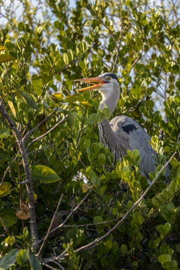 Great-Blue-Heron-(Ardea-herodias)-Shark-Valley-Evergldes-National-Park-RKing-15-003584-vv