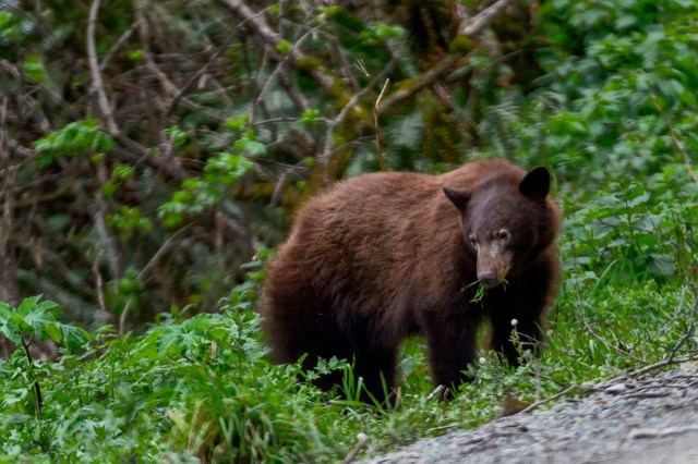 Brown bear, Klamath, CA