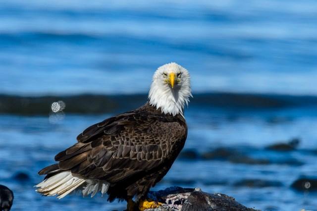 Photography Bald Eagle (Haliaeetus leucocephalus) at Anchor Point, AK