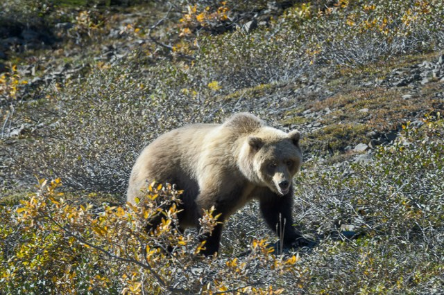 Grizzly Bear feasting on wild berries