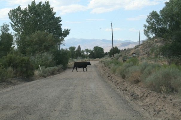 The Prius, running on electric and almost totally quiet, was not very scary to the cow.
